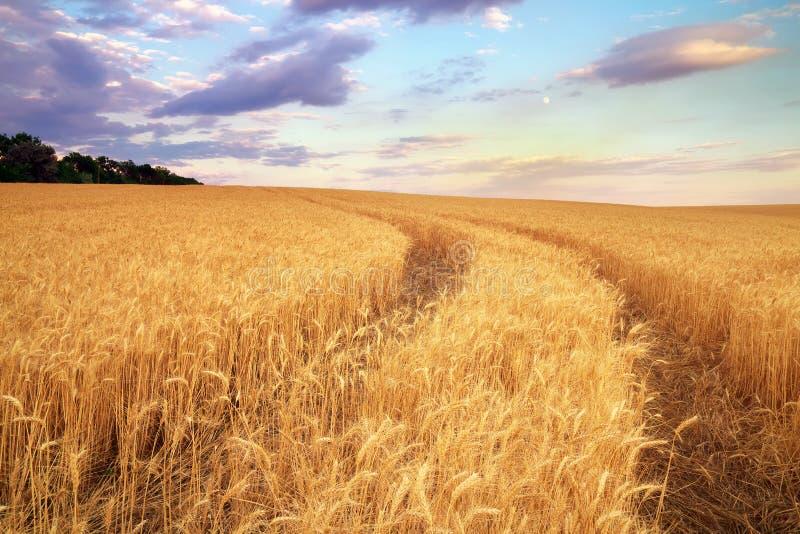 Лужок пшеницы стоковая фотография rf