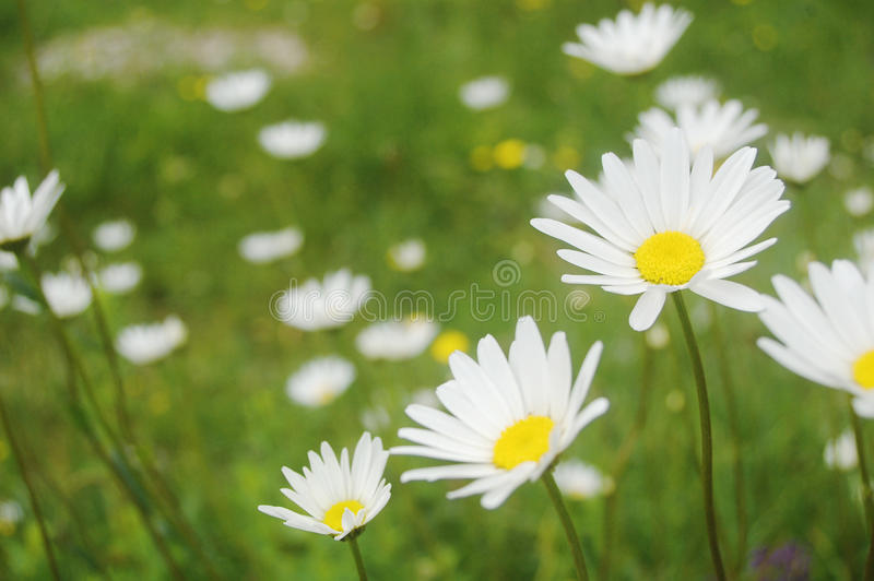 лужок цветка стоковое фото rf