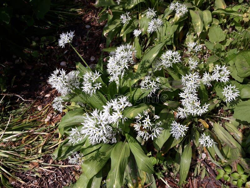 Лукабатун Ursinum или дикий чеснок растя в парке стоковое фото
