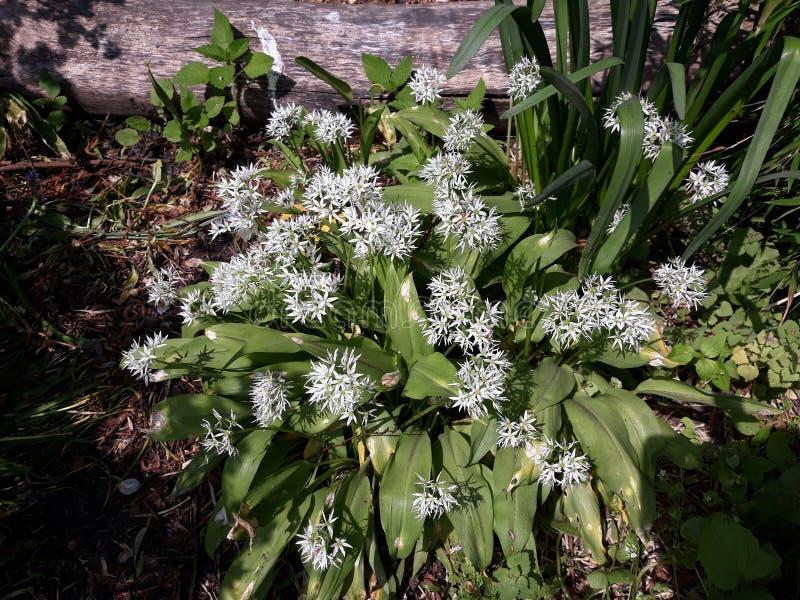 Лукабатун Ursinum или дикий чеснок растя в парке стоковое изображение rf