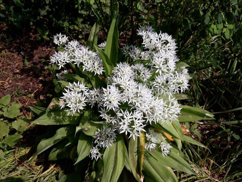 Лукабатун Ursinum или дикий чеснок растя в парке стоковые изображения rf
