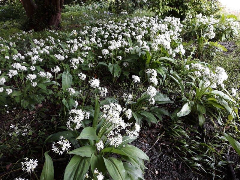 Лукабатун Ursinum или дикий чеснок растя в парке стоковые изображения