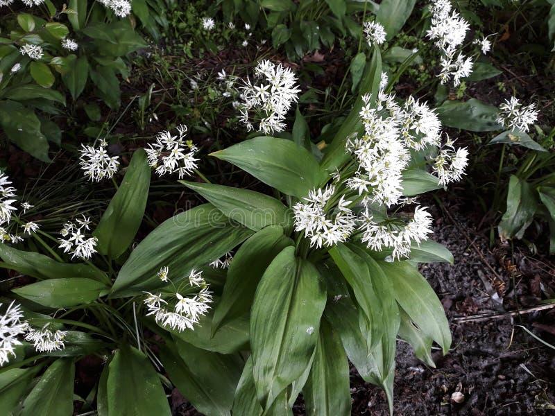 Лукабатун Ursinum или дикий чеснок растя в парке стоковые фотографии rf