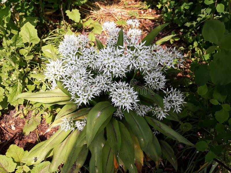 Лукабатун Ursinum или дикий чеснок растя в парке стоковое изображение