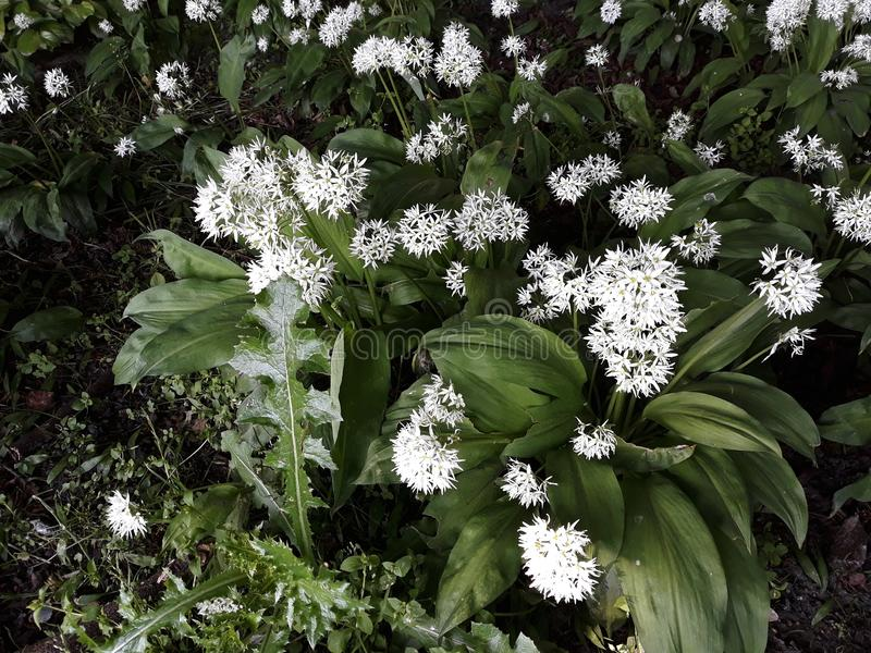 Лукабатун Ursinum или дикий чеснок растя в парке стоковая фотография
