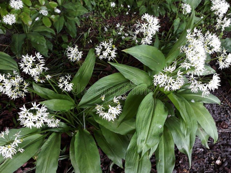 Лукабатун Ursinum или дикий чеснок растя в парке стоковое фото rf
