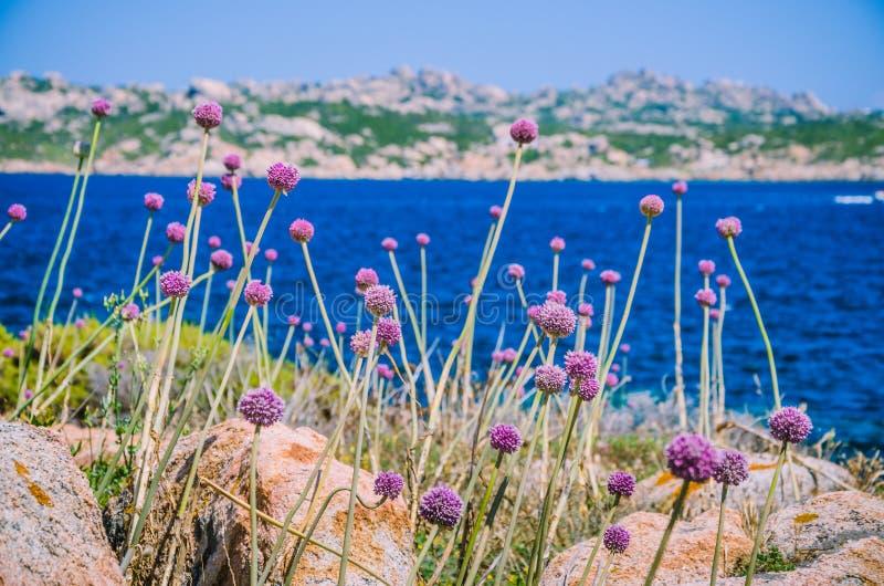 Лук-порей одичалого лука растя между гранитом трясет на красивом острове Сардинии Синь видит и другой остров на предпосылке стоковые изображения