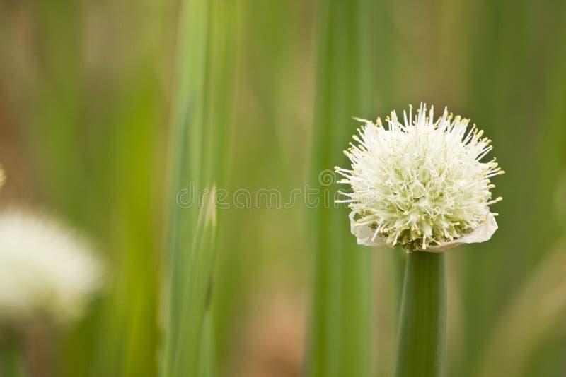 лук цветка стоковая фотография rf