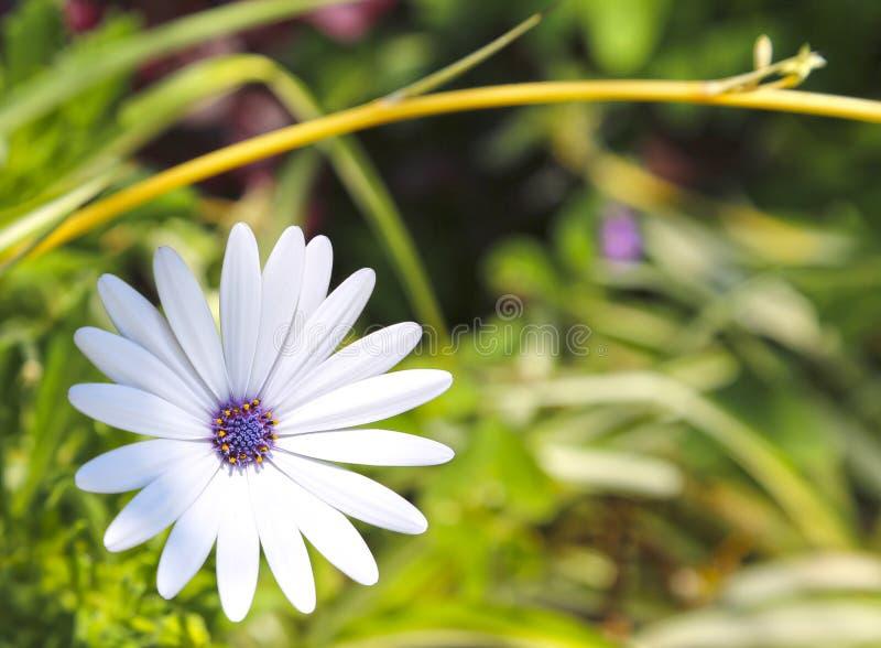 Луна белого тропического цветка африканская, конец Dimorphotheca вверх стоковое изображение rf