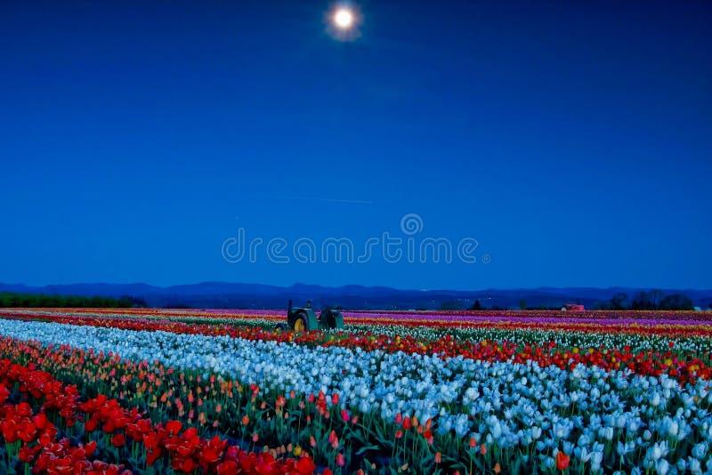 Луна над полем тюльпана стоковая фотография rf
