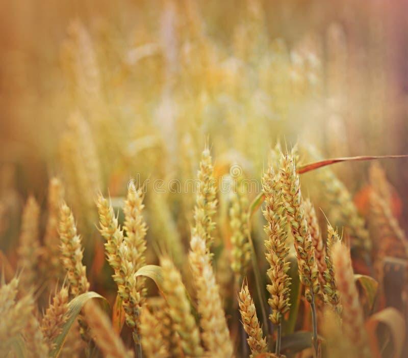 Лучи заходящего солнца на пшеничном поле стоковое изображение rf