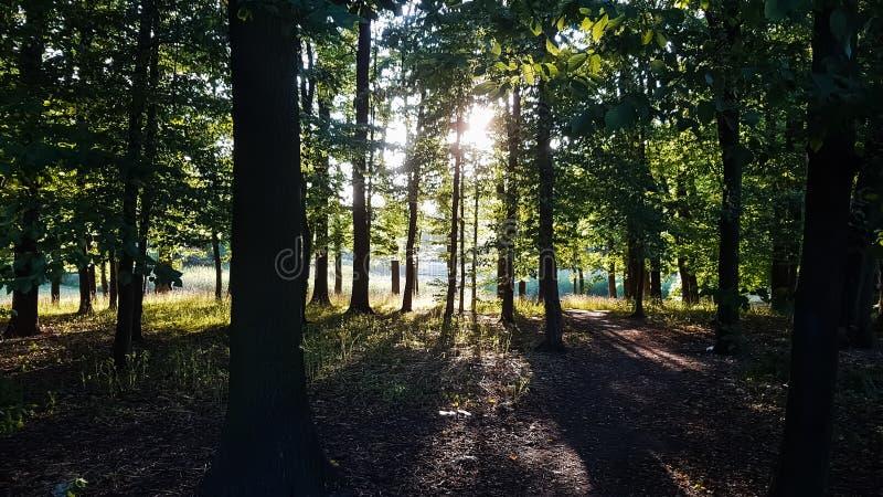 Лучи солнца выходя сквозь отверстие деревья в лесе стоковое фото