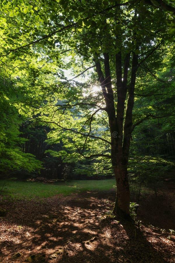 Лучи Солнца между деревьями в лесе Urbasa стоковое изображение