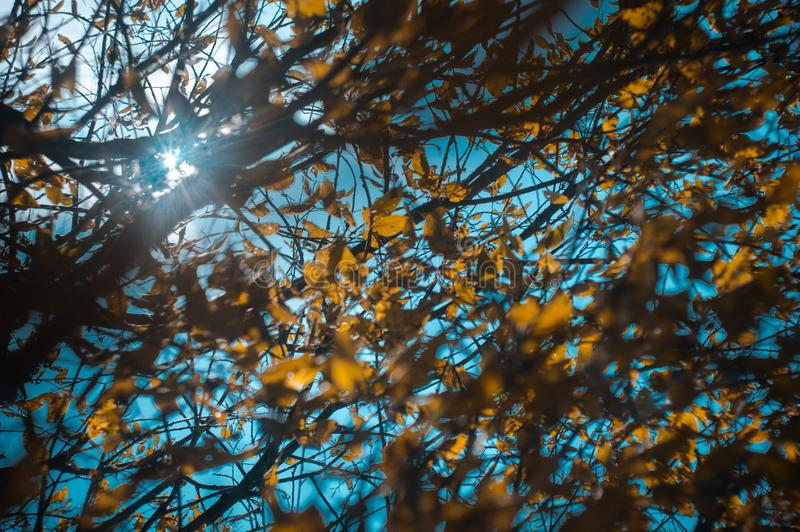 Лучи солнца светят через ветви дерева с листьями редкой осени желтыми Мягкий фокус, выбранный фокус, defocused стоковое изображение rf