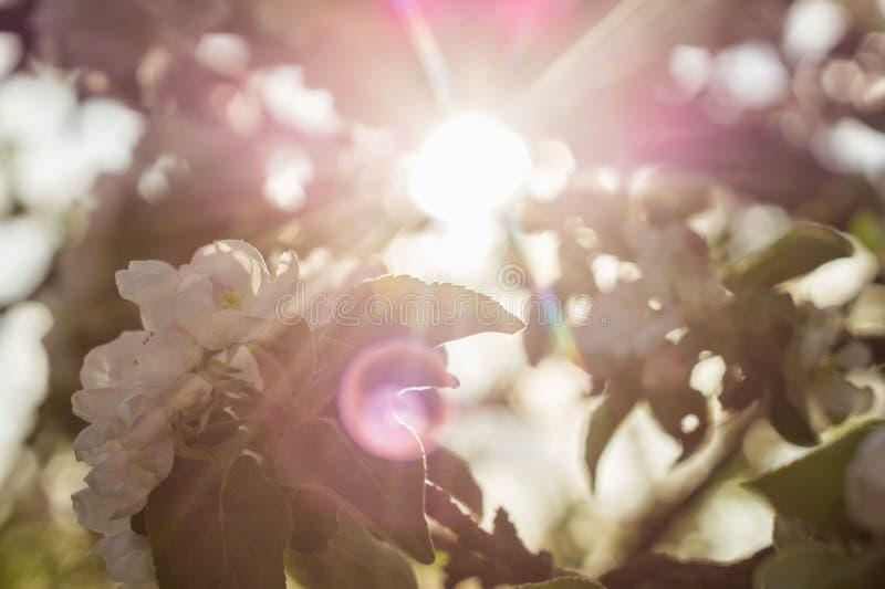 Лучи Солнца через цвести ветвь яблони стоковое изображение