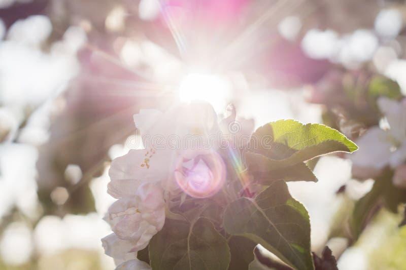 Лучи Солнца через цвести ветвь яблони стоковые изображения rf