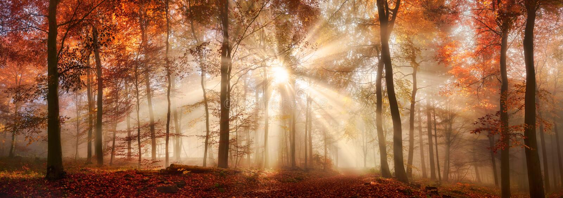 Лучи солнечного света в туманном лесе осени стоковая фотография rf