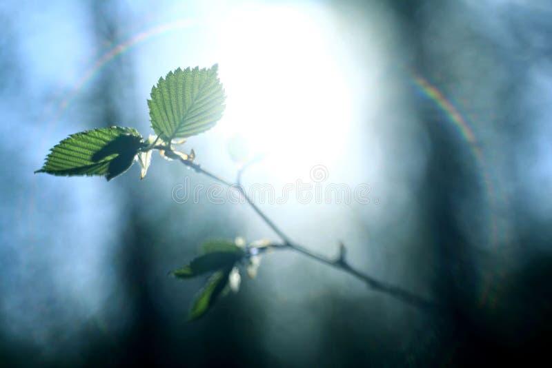 Лучи солнца ярко светят зеленая весна ветвей бутонов лист стоковое изображение rf