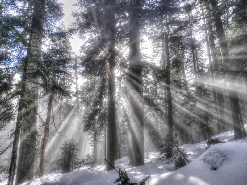 Лучи Солнця в лесе зимы стоковое фото rf