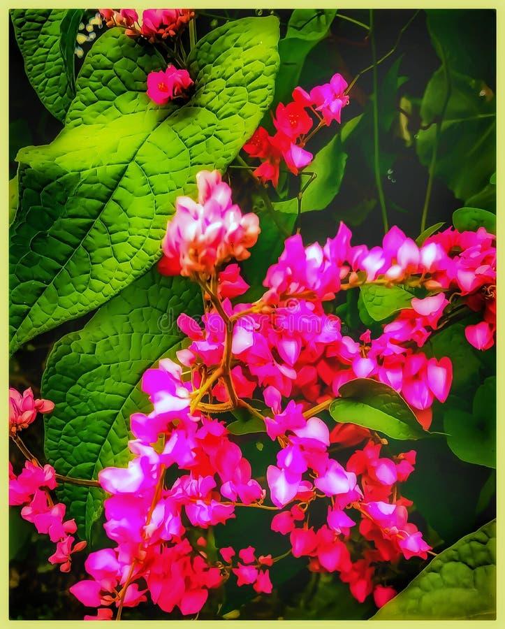 Лучший сладкий горох изображение это дикое растение стоковые фотографии rf