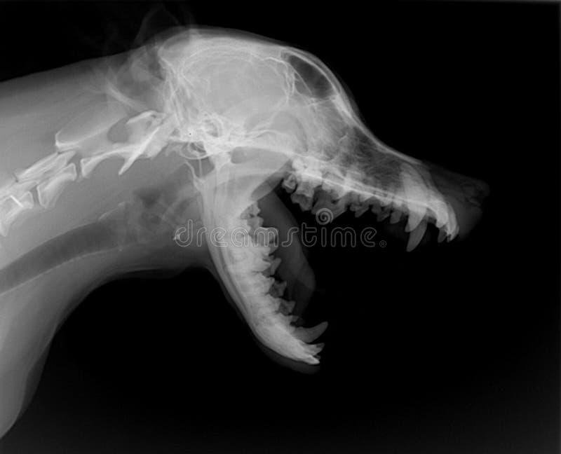 луч собаки тела x стоковые изображения