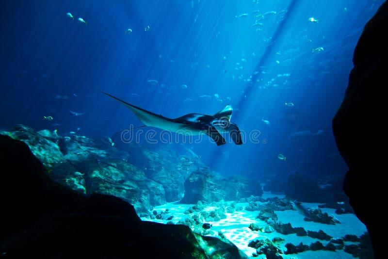 Луч Manta в глубоком голубом океане стоковые изображения rf