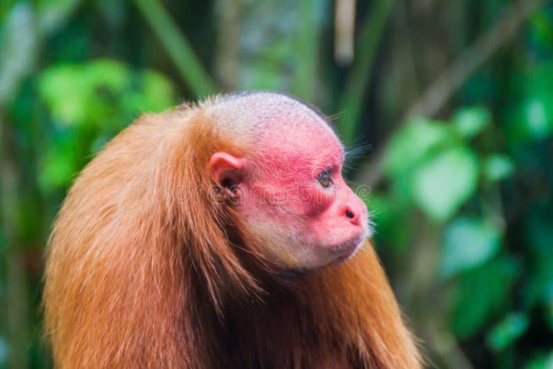 Лысая обезьяна uakari стоковое фото rf