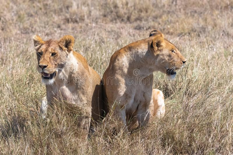 2 льва в саванне стоковое изображение