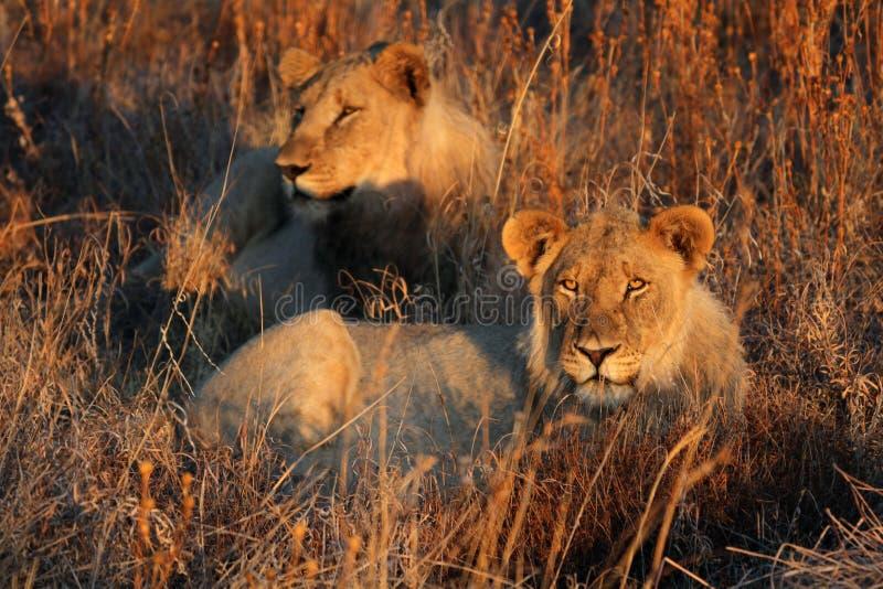 2 льва отдыхая в длинной траве в выравниваясь солнце стоковое изображение