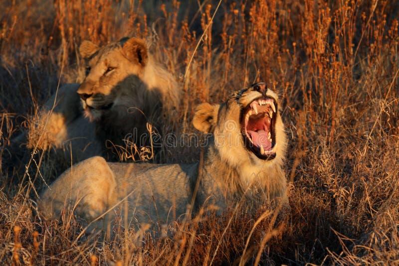 2 льва отдыхая в длинной траве в выравниваясь солнце стоковые изображения