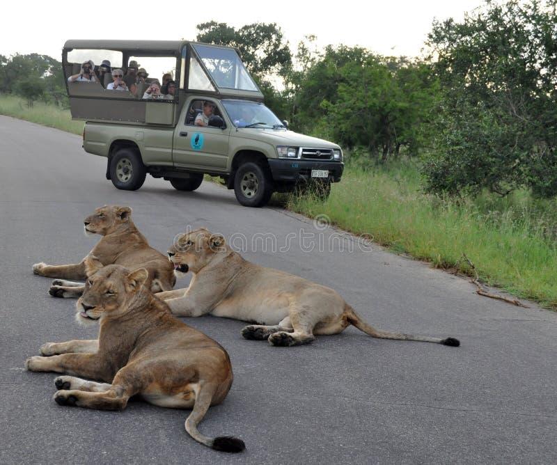 львев Африки стоковые фото