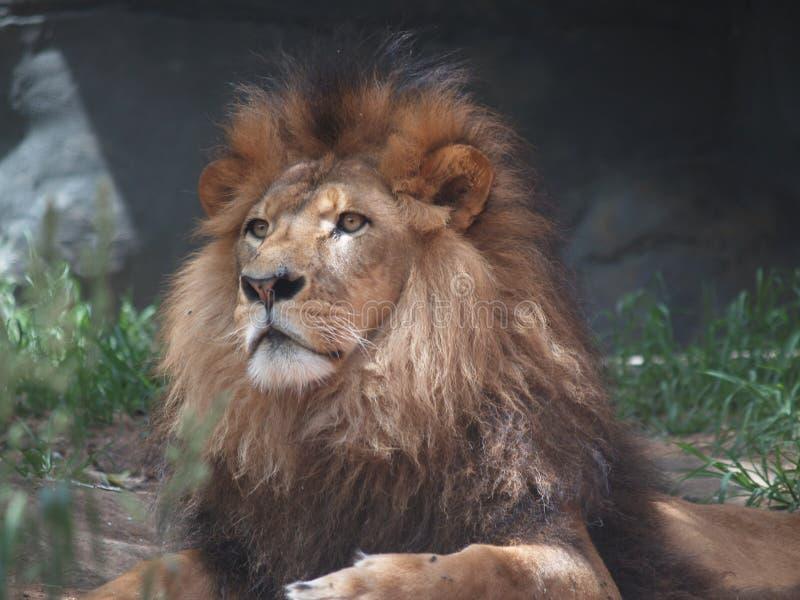 львев короля джунглей стоковое фото rf