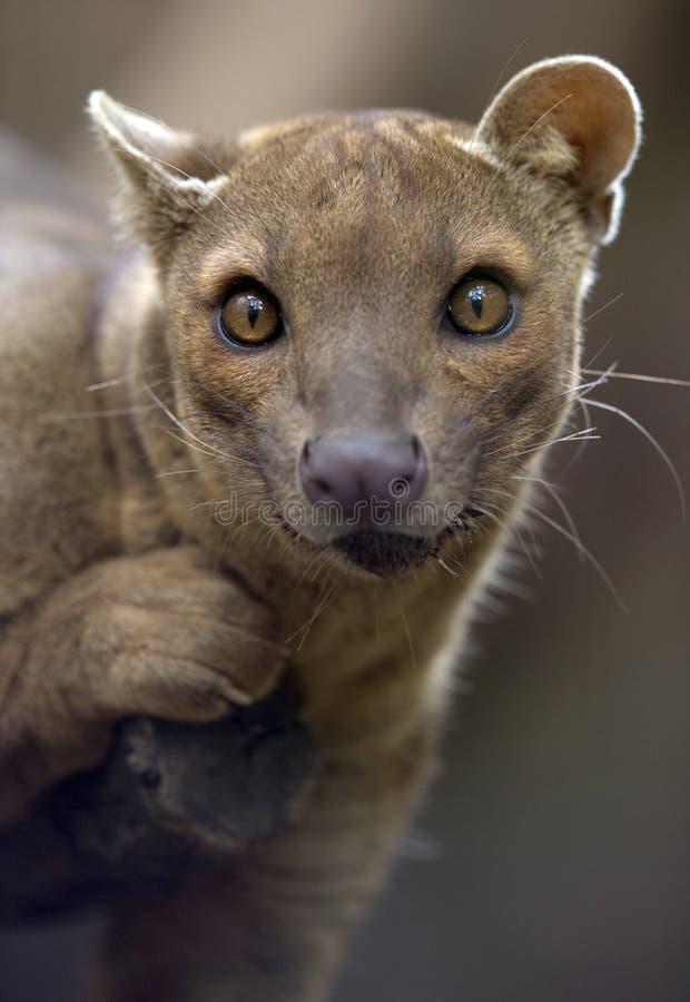 львев Мадагаскар леопарда звероловства fossa кота Африки стоковое изображение rf