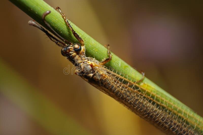 львев муравея стоковое изображение rf