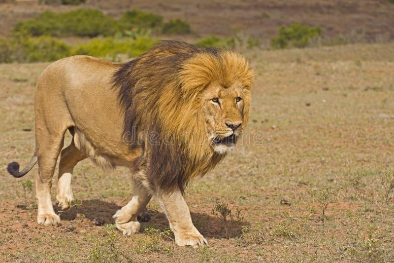 львев человек, насаждающий стоковая фотография rf