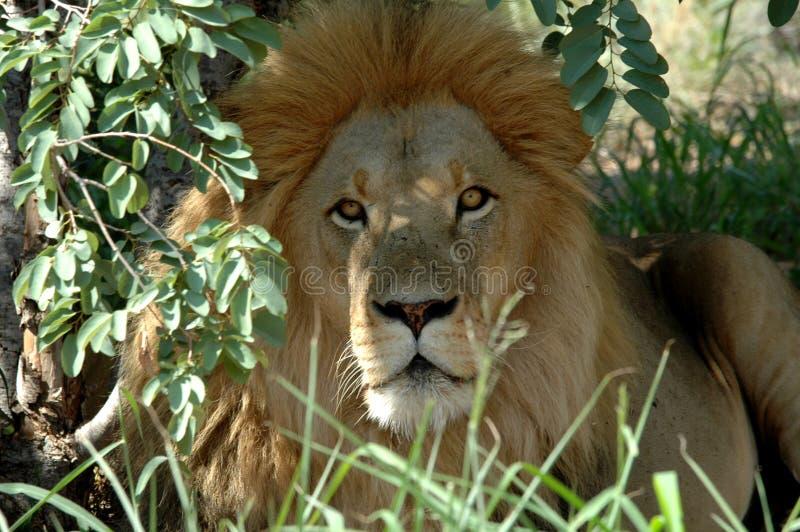 Download львев стоковое фото. изображение насчитывающей хищник, король - 483524
