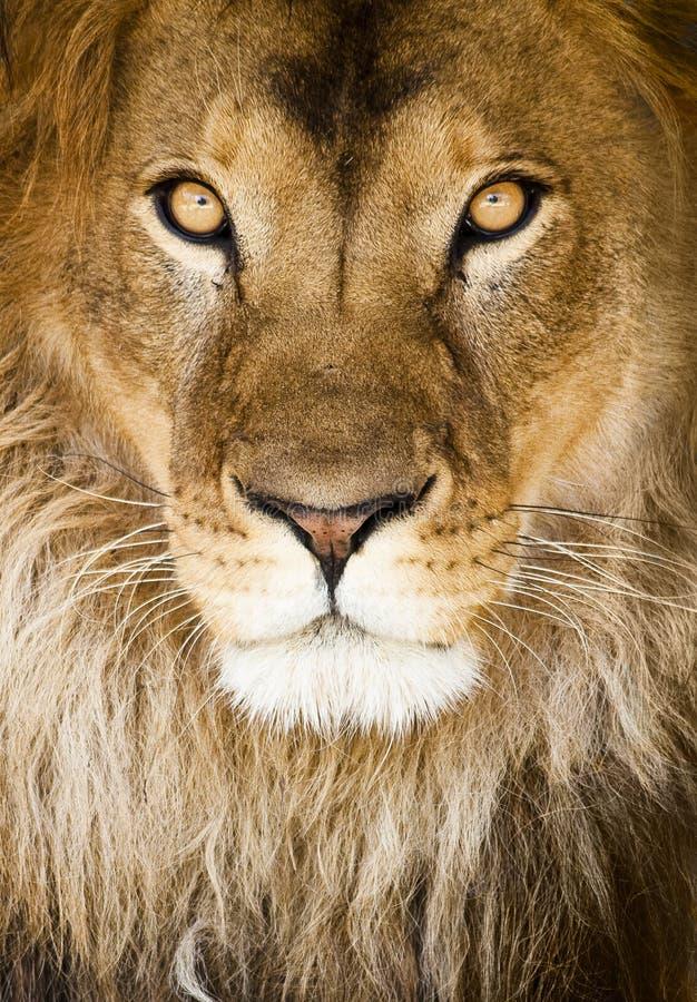 львев стоковое фото