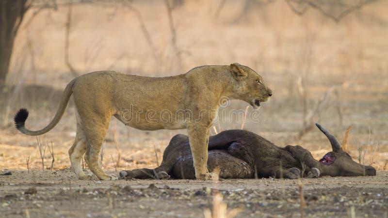 Львица африканским убийством буйвола стоковые изображения