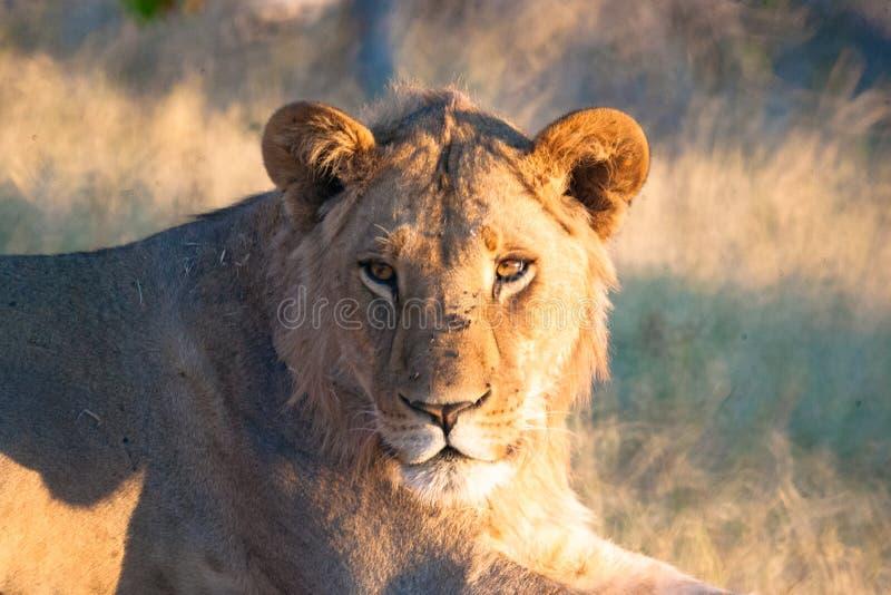 Львица, Ботсвана стоковое изображение
