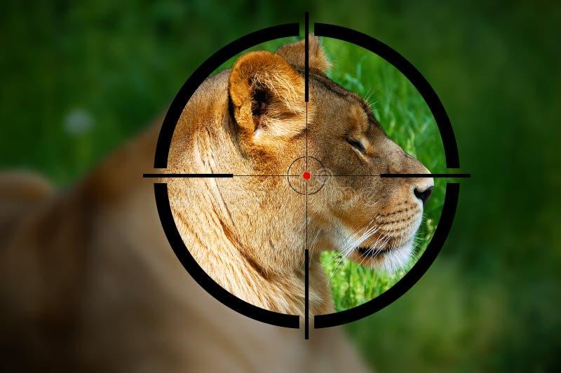 Львица в визировании винтовки стоковые фото
