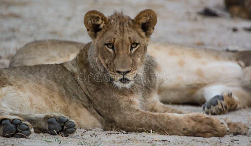 Львица в саванне в Зимбабве, Южной Африки стоковое фото rf