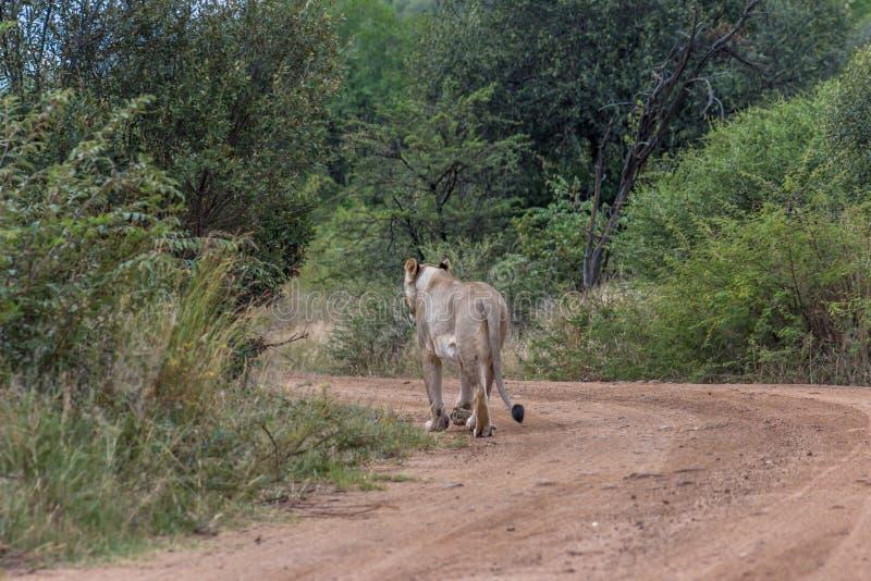 Львица идя на грязную улицу стоковое изображение