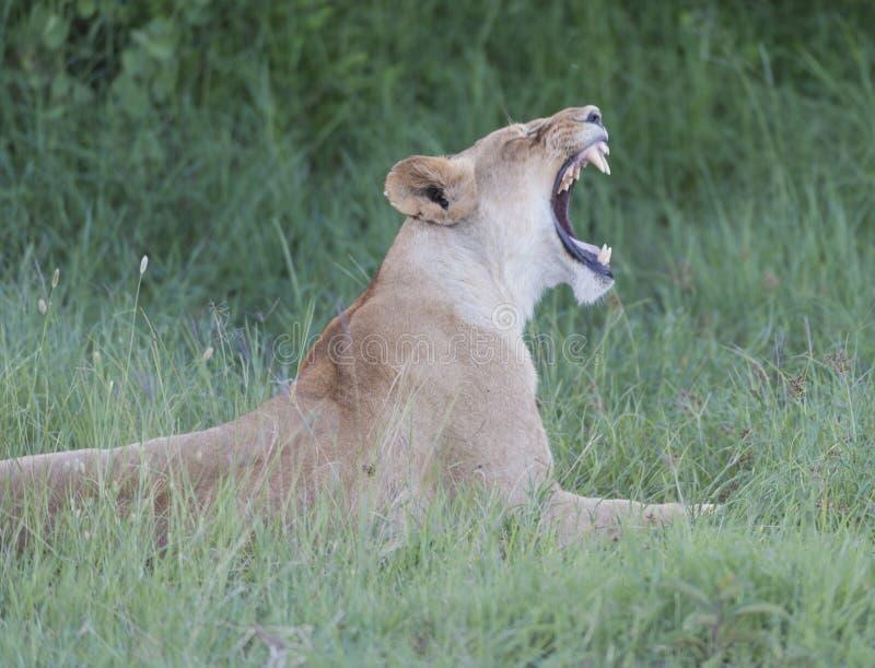 Львица имея большой зевок после спать в солнце, стоковые изображения rf