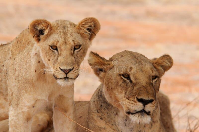 Львица и новичок стоковые изображения