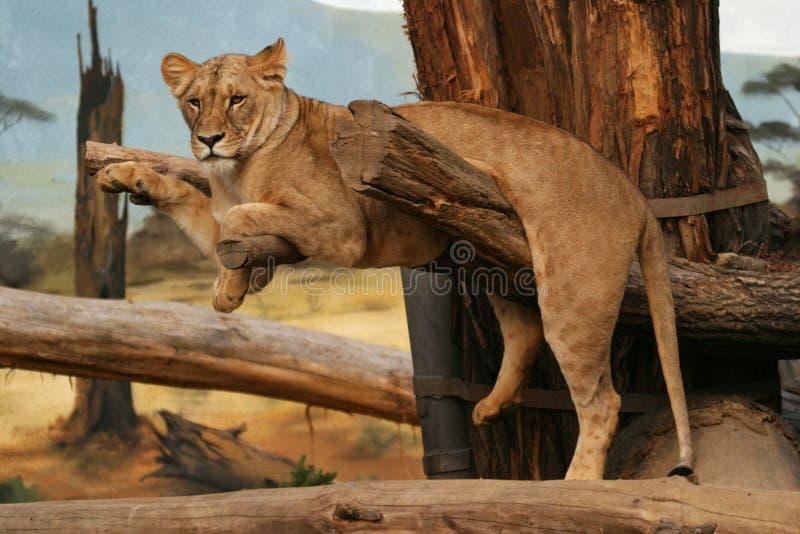 львица льва Анголы стоковые фотографии rf