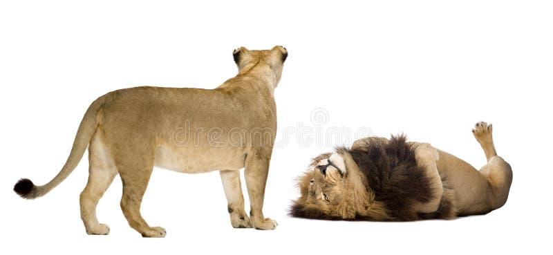 Download львица льва стоковое фото. изображение насчитывающей драка - 6851450