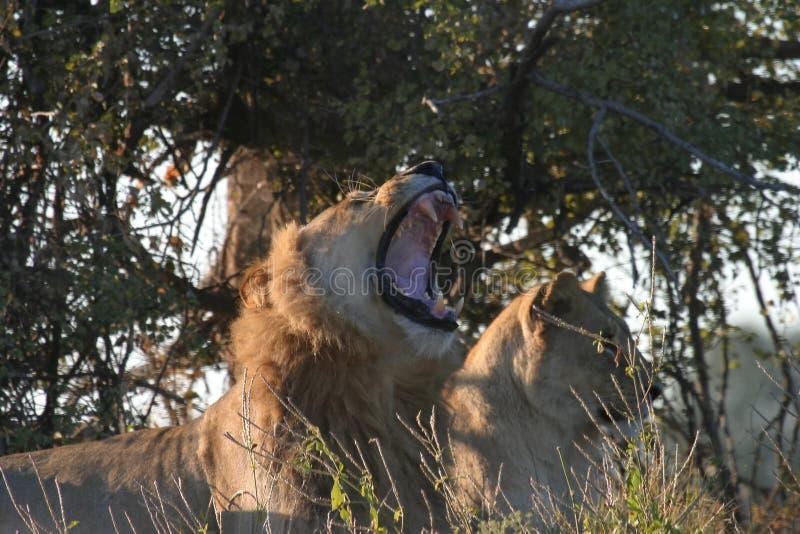 львица льва Стоковое Фото