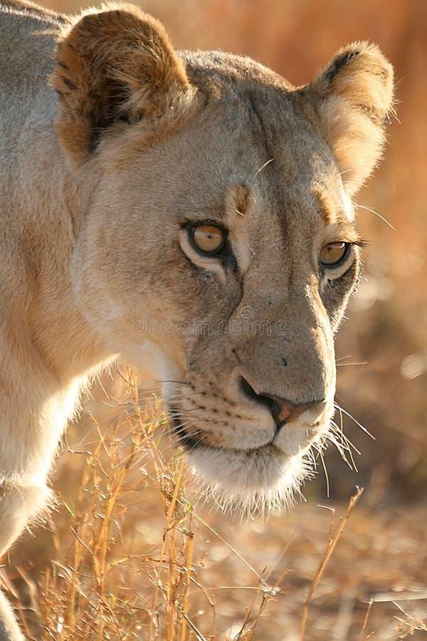Львица на охоте стоковое изображение