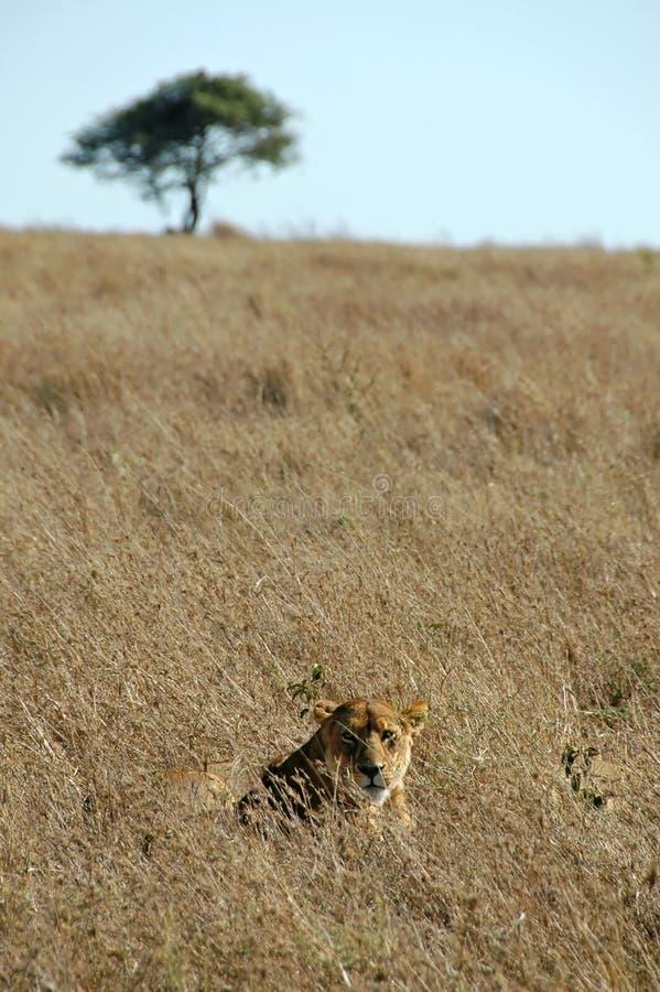 львица одичалая стоковая фотография rf