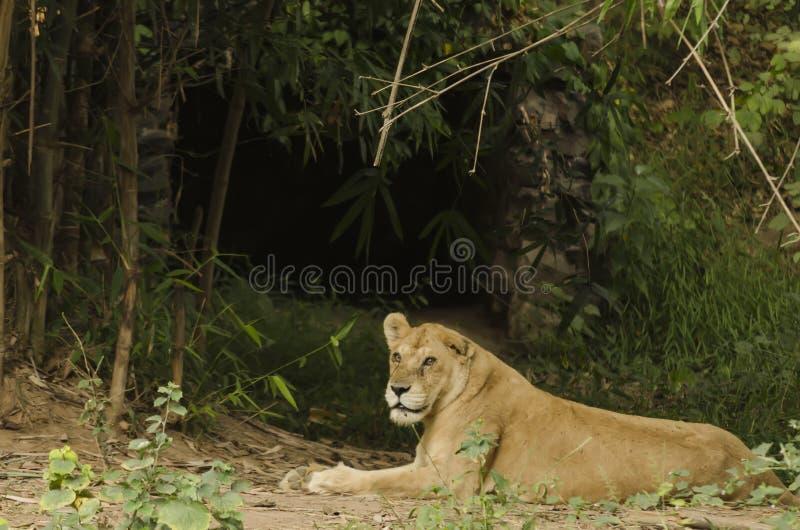 Львица отдыхая вне ее пещеры стоковые фотографии rf